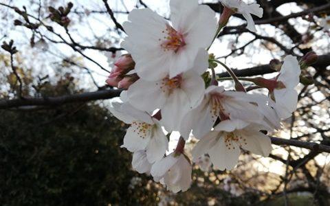 3/24(火)2020年の桜。by青木崇
