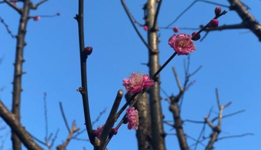 【まちかど探検隊】2/5(金)春を探しに梅ウォッチングと スイーツ探検byなでしこKyoko