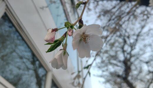 【まちかど探検隊!】春!桜レポート。by青木崇